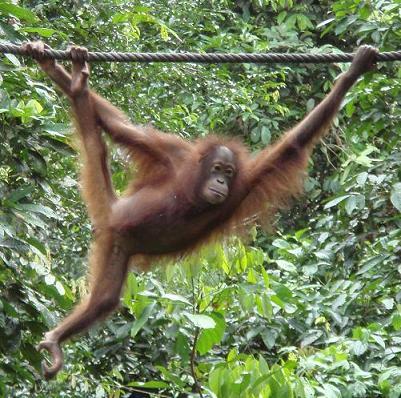 orangutan en Sephilok